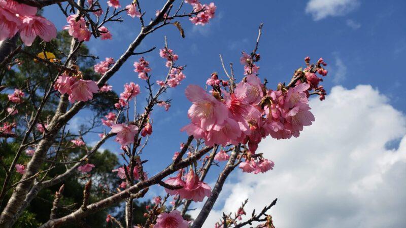 本部町桜まつり